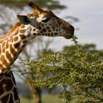 Почему у жирафа длинная шея и ноги