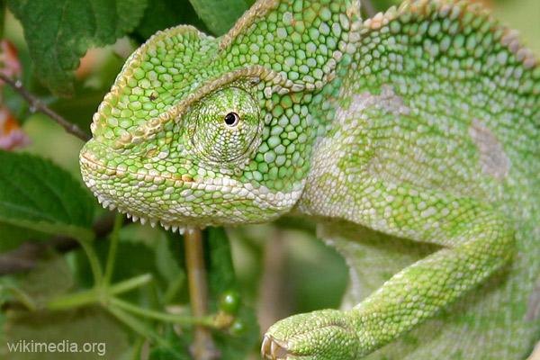Индийский хамелеон (Chamaeleon zeylanicus)