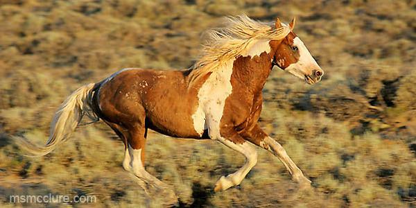 Мустанг – дикая лошадь | Про..