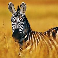 Полоски у зебры. Зачем?