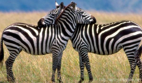 Зачем зебре полоски