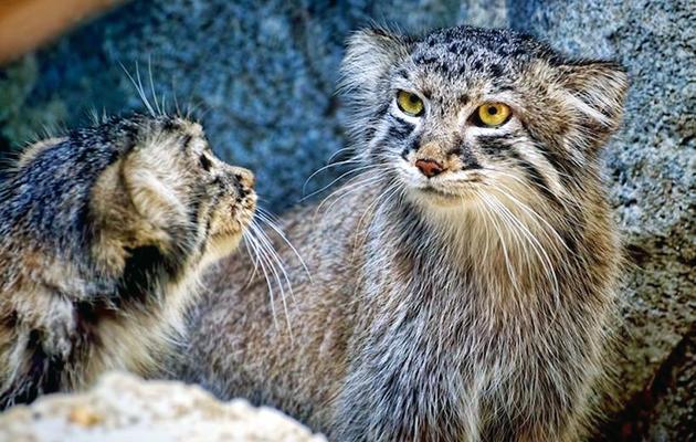 Палласов кот очень скрытен и до сих пор неизвестно его точная численность