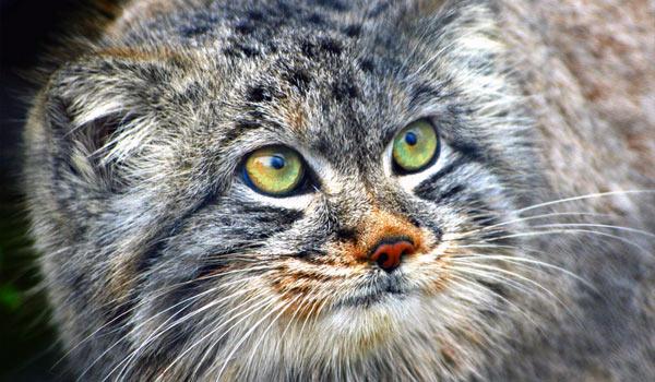 Манул - кот из красной книги