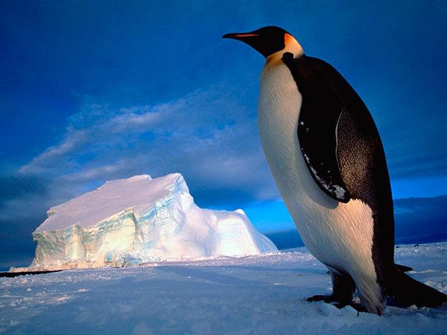 Антарктида является основным ареалом обитания императорских пингвинов