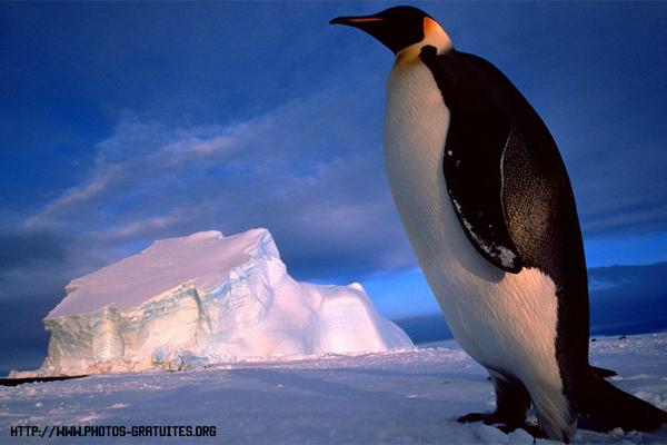 Императорский пингвин — крупнейший представитель семейства пингвиновых