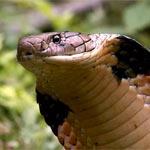 Королевская кобра — крупнейшая ядовитая змея