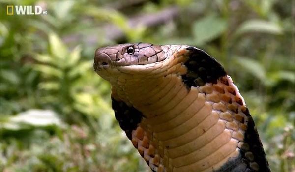 Королевская кобра - крупнейшая ядовитая змея