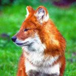 Красный волк — животное из красной книги