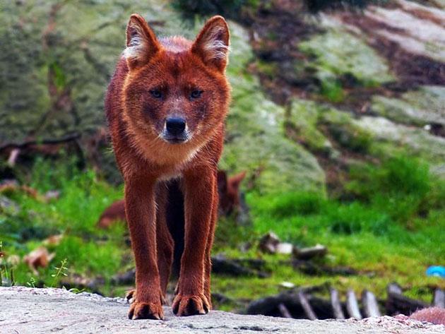 В России красный волк обитает на окраинах Дальнего востока