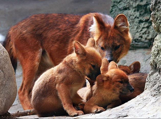 Самка красного волка за один раз может принести 4-6 щенят