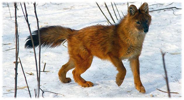 Красный волк занесён в Красную книгу