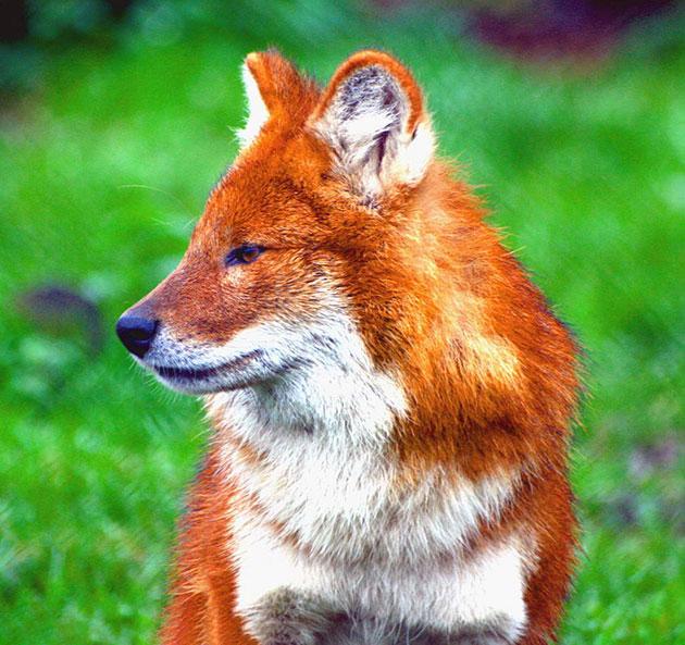 Красный волк - животное из красной книги