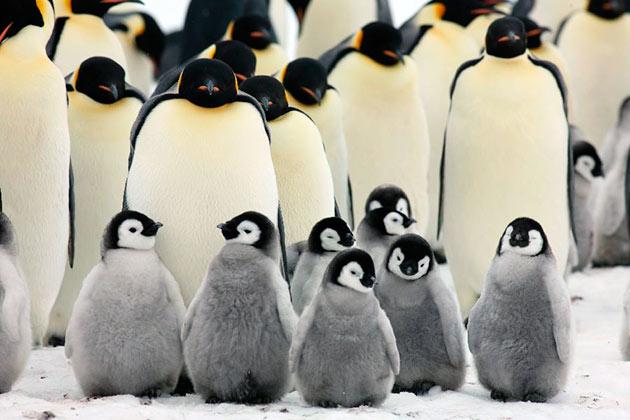 Особенность императорских пингвинов заключается в том, что они моногамны и создают пары на всю жизнь