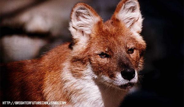 Красный волк животное из красной книги
