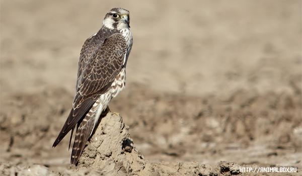 Сапсан — самая глазастая и быстрая птица