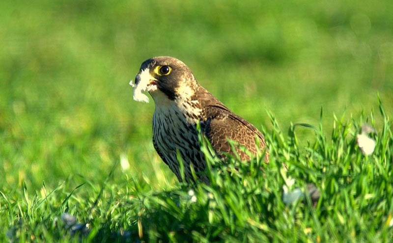 Сапсан – одиночная птица