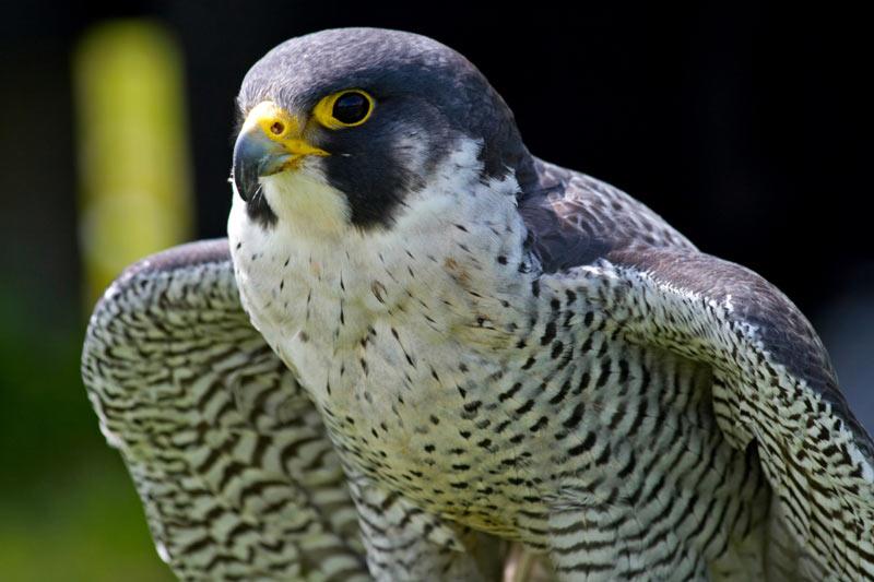 Сапсан – одна из самых великолепных хищных птиц во всем мире.