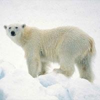 Почему белые медведи белые