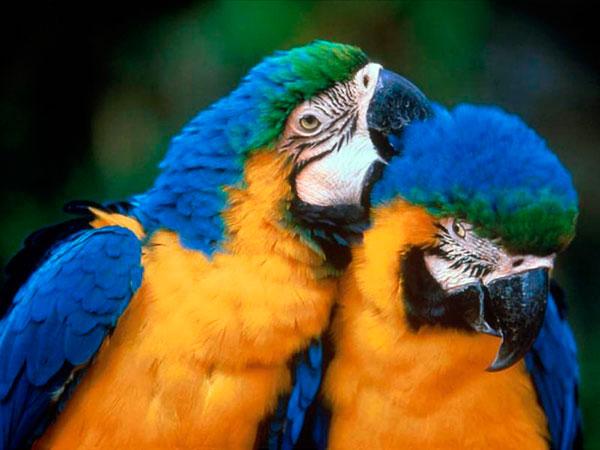 Сколько лет живут попугаи - Ара
