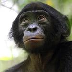 Бонобо — карликовый шимпанзе