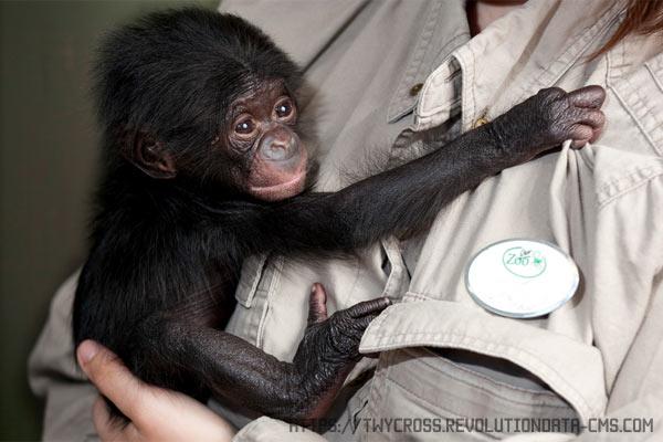 Бонобо - карликовый шимпанзе. Среда обитания, поведение, содержание