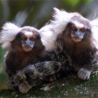 Игрунковые приматы — обезьянки