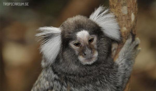 Игрунки – самые маленькие обезьянки на планете. Содержание, питание, размножение