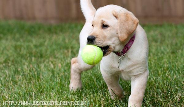Как дрессировать щенка самому