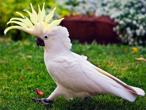 Сколько лет живут попугаи - Какаду