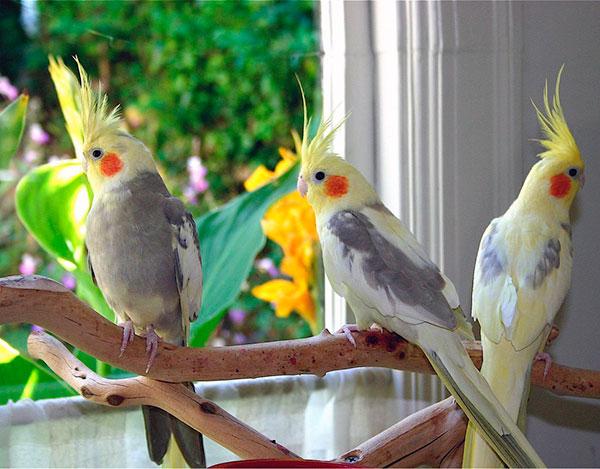 Сколько лет живут попугаи - Корелла