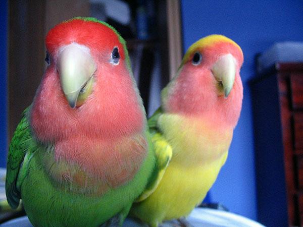 Сколько лет живут попугаи - Неразлучники