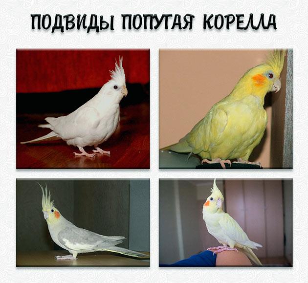 Подвидов попугая корелла существует достаточно много, отличающиеся в основном по цвету