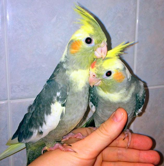 Располагая клетку для попугая корелла обязательно оградите её от сквозняков и холодного воздуха