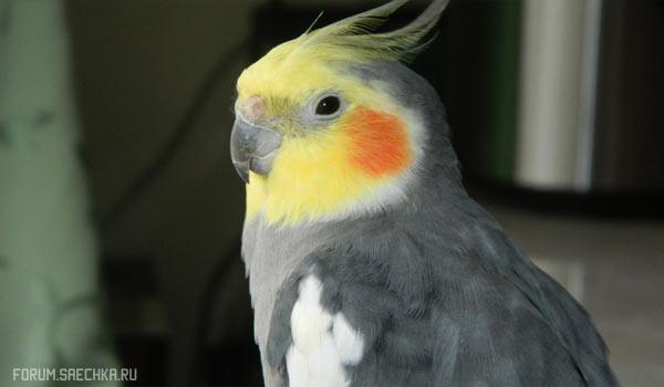 Попугай Корелла — особенности содержания, размножение, питание, покупка