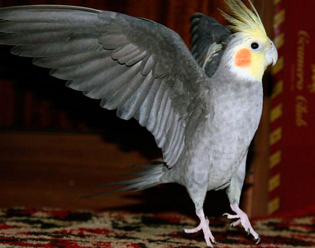 Попугай корелла может прожить 10-15 лет, в редких случаях может дожить до четверти века
