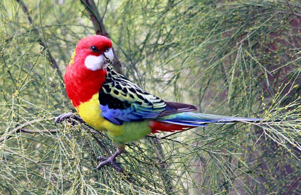 Сколько лет живут попугаи - Розелла