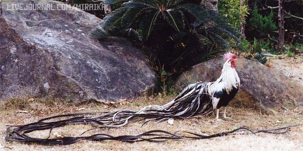 Обладатели самого длинного хвоста — Онагодари
