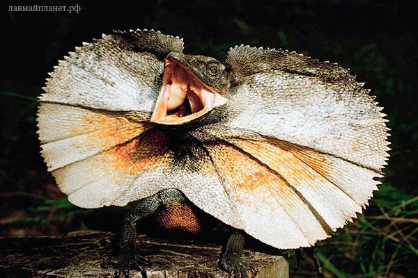 Обладатели самого длинного хвоста — Плащеносная ящерица