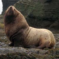 Сивуч — северный морской лев