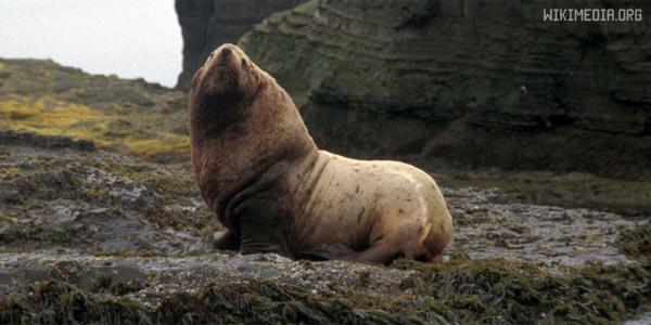 Сивуч — северный морской лев. Животное из красной книги