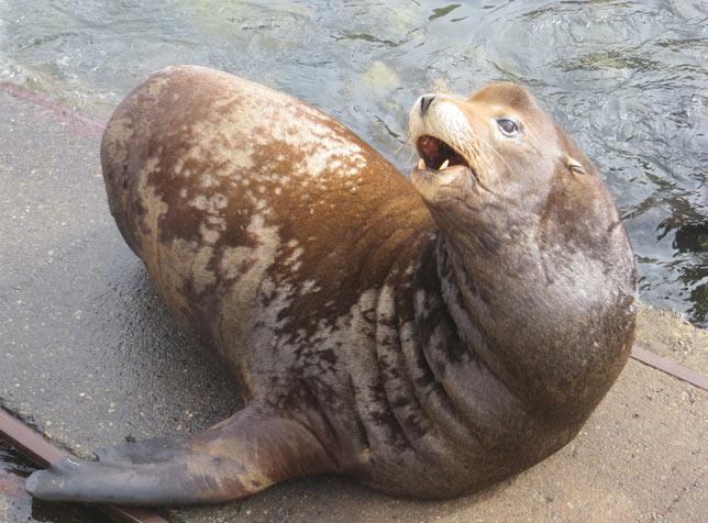 Сивуч — крупнейшее животное из подсемейства морских львов