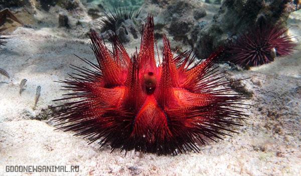 Топ 5 животных-долгожителей — Красный морской еж
