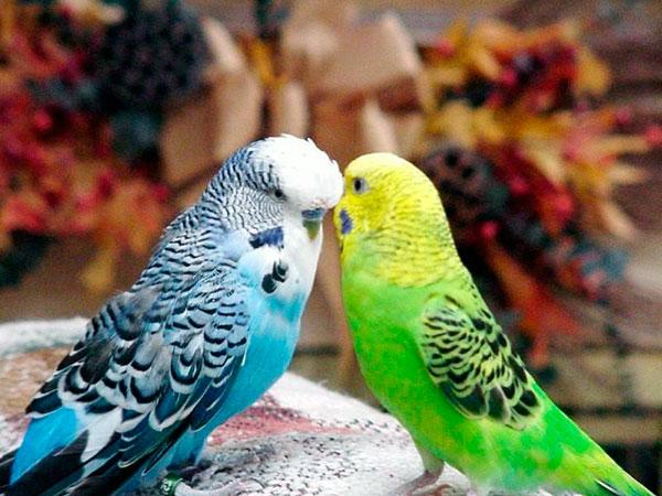 Сколько лет живут попугаи - Волнистые попугайчики