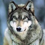 Как охотятся волки