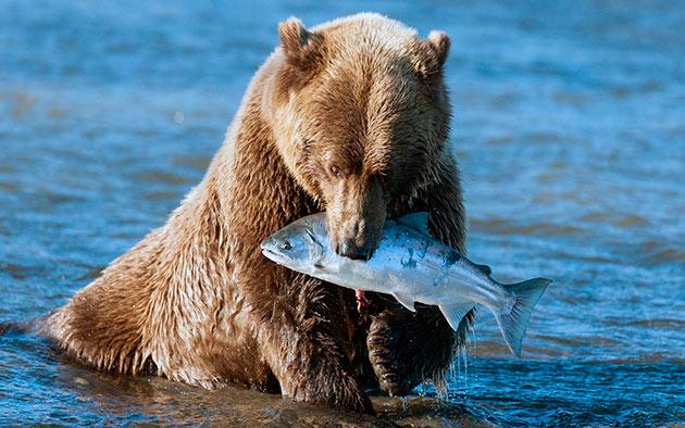 Гризли в основном охотятся на крупных млекопитающий, но так же любит полакомиться рыбкой