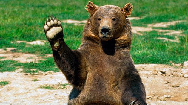 Для грызли основная опасность исходит от человека, и поэтому популярность этих медведей контролируется