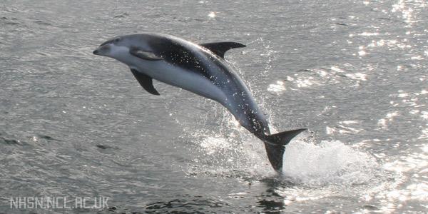 Красивый беломордый дельфин - животное из красной книги