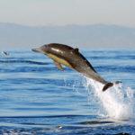 Беломордый дельфин (лат. Lagenorhynchus albirostris)
