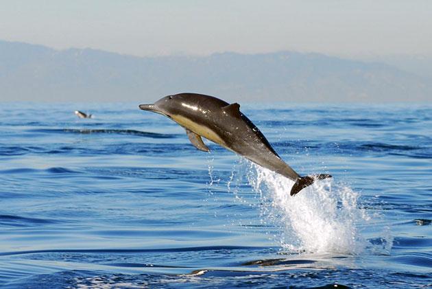 Беломордый дельфин обитает на территории Северной Атлантики от побережья Франции и до Баренцева моря