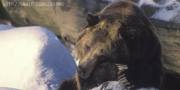 Почему медведи спят зимой